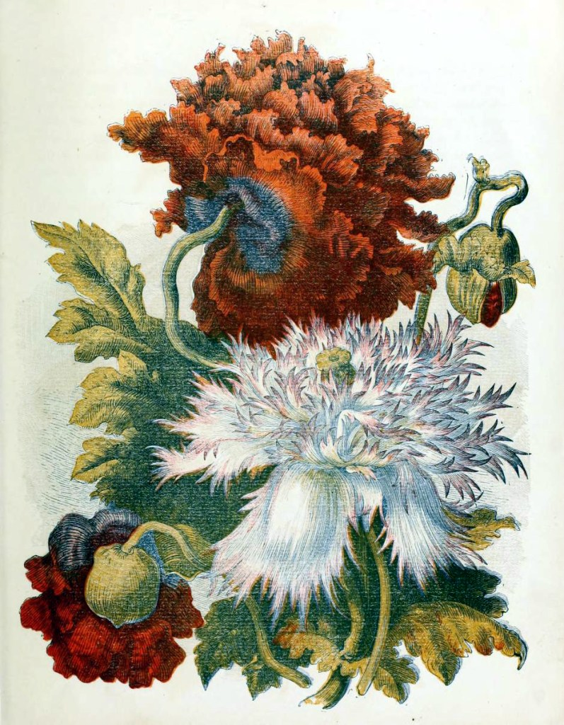 This is a free vintage flower illustration of country flowers and dahlias from antique childrens book