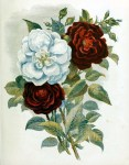 This is a free vintage book illustration of red and while country flowers and roses from 1857