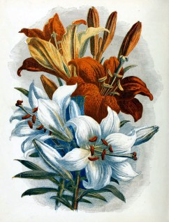 free antique illustration of white and orange lily country flowers