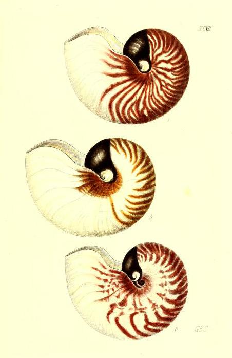 Free antique scientific illustration of three classic spiral shaped shells