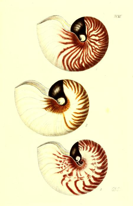 Free antique scientific illustration of three classic spiral shaped shells