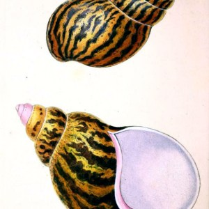 Free antique scientific illustration of two large sea snail shells