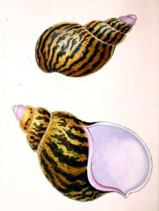 antique scientific illustration of sea snail shells