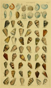 free 17th century vintage scientific Illustration featuring a wide variety of shells