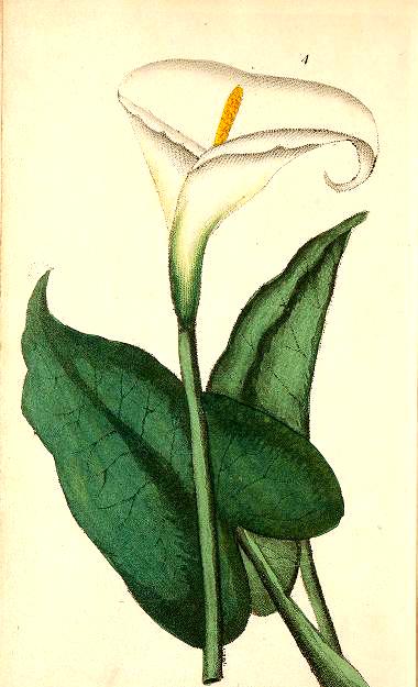 Enjoy this free vintage botanical illustration of a calla lily