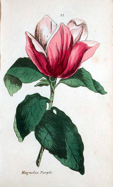 Vintage botanical illustration of a magnolia houseplant from 1807
