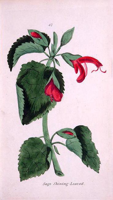 botanical illustration sage