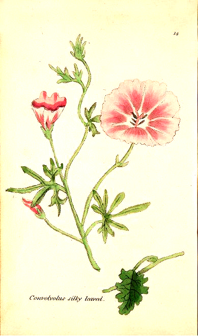 Antique Botanical Illustration of a Silky-Leaved Convolvulus