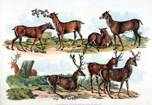 antique sketchbook sketches of multiple deer