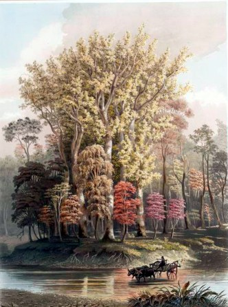 Sycamore trees in fall 1841 fall illustration public domain