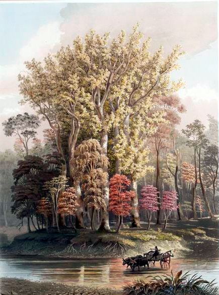 19th century fall illustration of Sycamore Trees in 1841