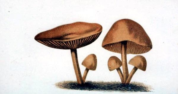 19th century mushroom illustrations from France