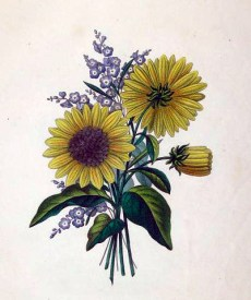 19th-century copyright-free illustrations of sunflowers