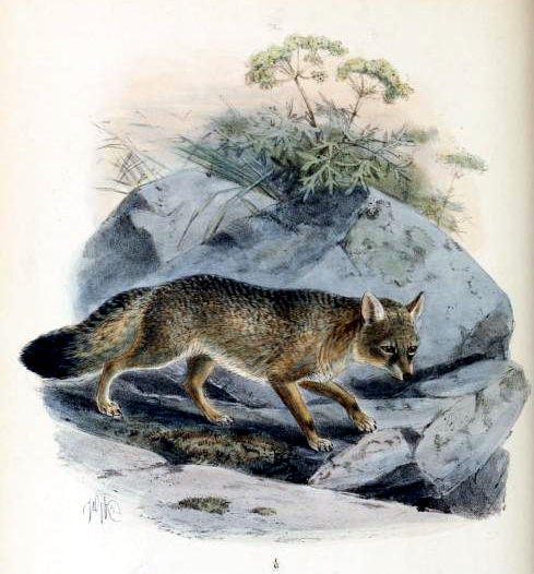 Canine images of 19th-Century Corsac Fox