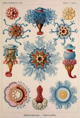 Ernst Haeckel siphonophorae Illustrations