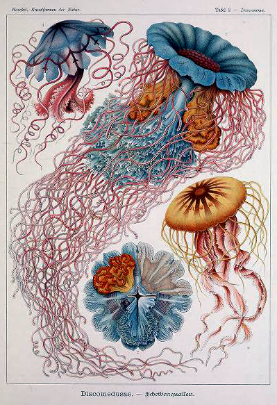 Free vintage scientific Ernst Haeckel Discomedusae Jellyfish Illustration from the 19th century
