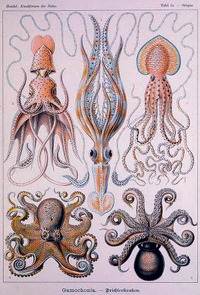 Free public domain Ernst Haeckel Octopus Illustration from the 19th-century book Art Forms in Nature.