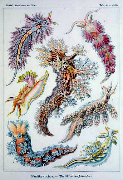 Free public domain Ernst Haeckel Nudibranchia illustration from the late 19th-century book, Art Forms in Nature.