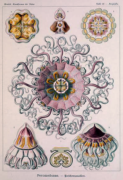 Free vintage Ernst Haeckel Peromedusae Jellyfish Illustrations from the turn of the century.