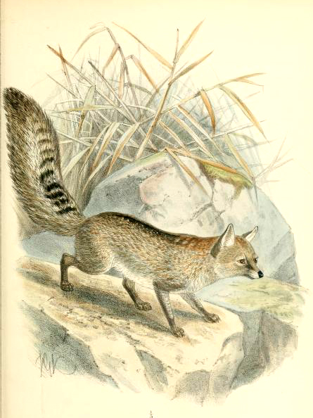 Canine images of 19th century hoary fox