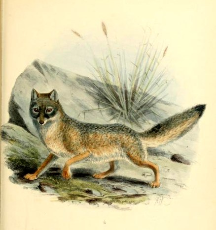 Canine Images of a 19th-Century Kit Fox