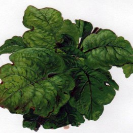 Copyright-free illustrations of lettuce, cabbage, and leafy greens