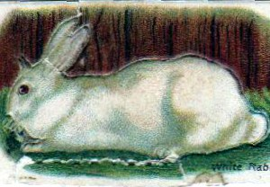 Vintage nature illustration of a white rabbit