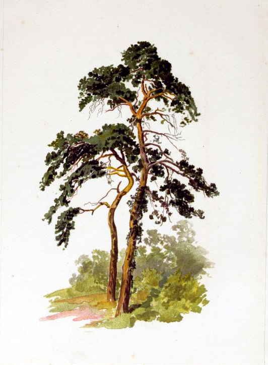 A free image of a tall skinny tree illustration