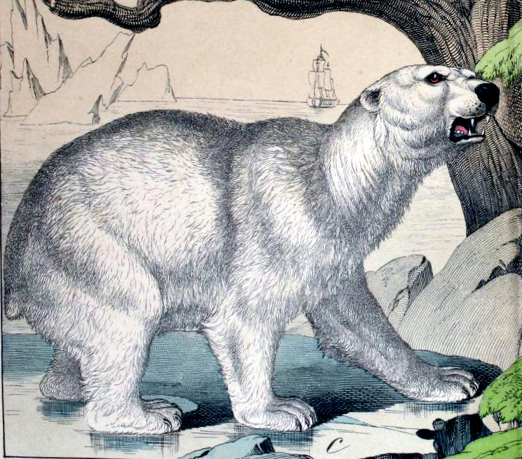 A free 19th-century polar bear illustration from vintage children's science book