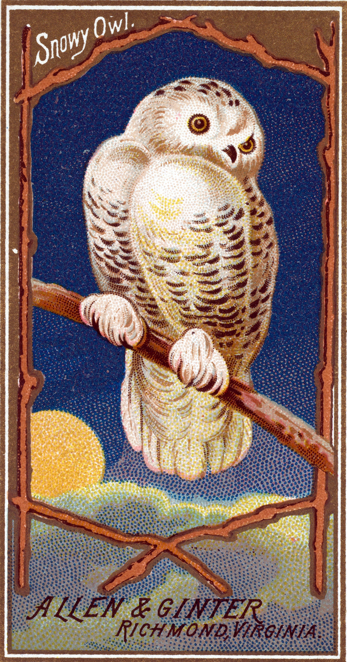 Free Snowy Owl illustration from the early 20th-century