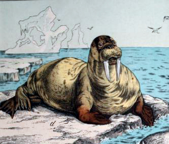 Free 19th-century walrus illustration in the public domain