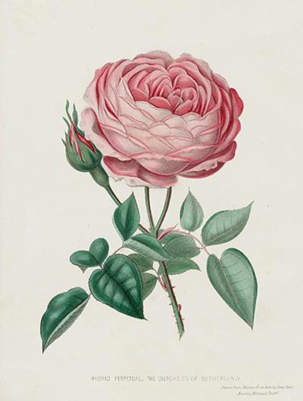 Vintage illustration of a pink rose. Public domain.