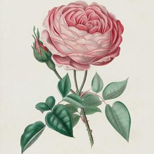 Vintage illustration of a pink rose. Public domain.