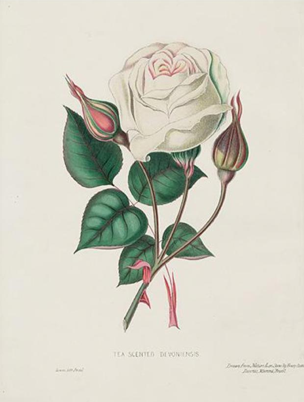 Public domain white rose illustration
