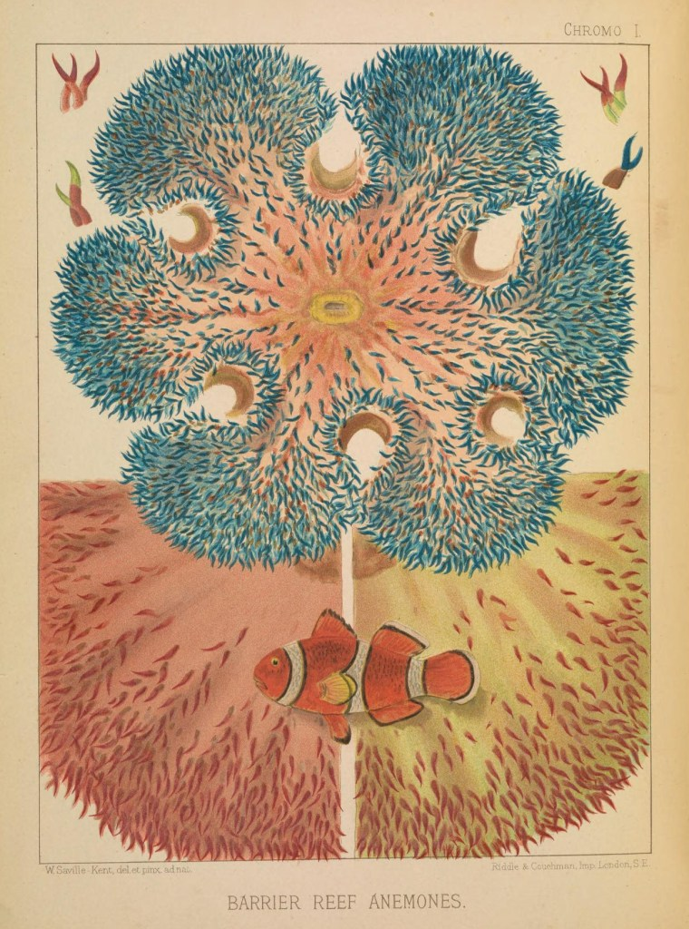 Vintage public domain illustration of great barrier reef anemones