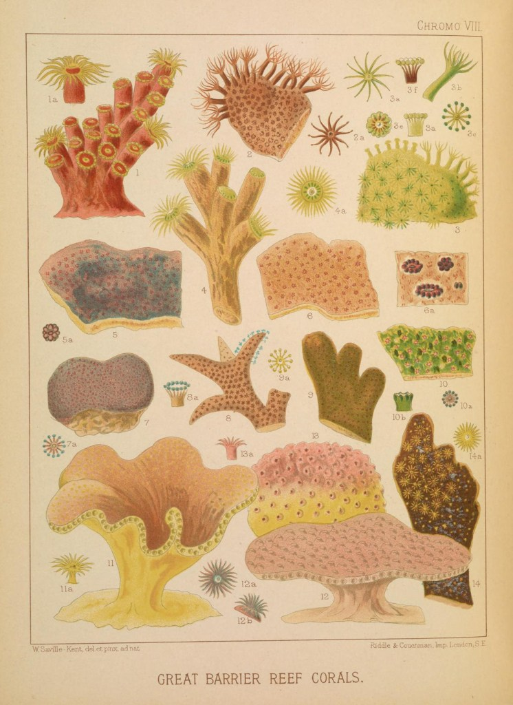 Vintage public domain illustrations of great barrier reef corals