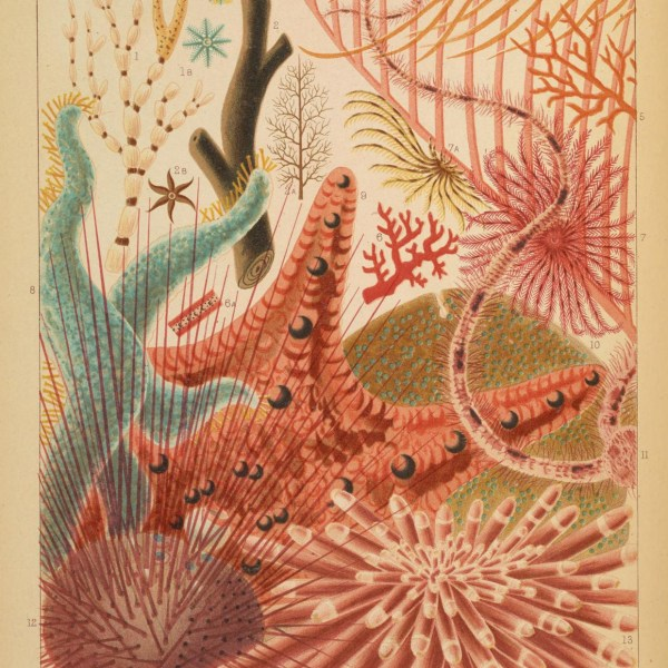 Vintage public domain illustrations of great barrier reef echinoderms