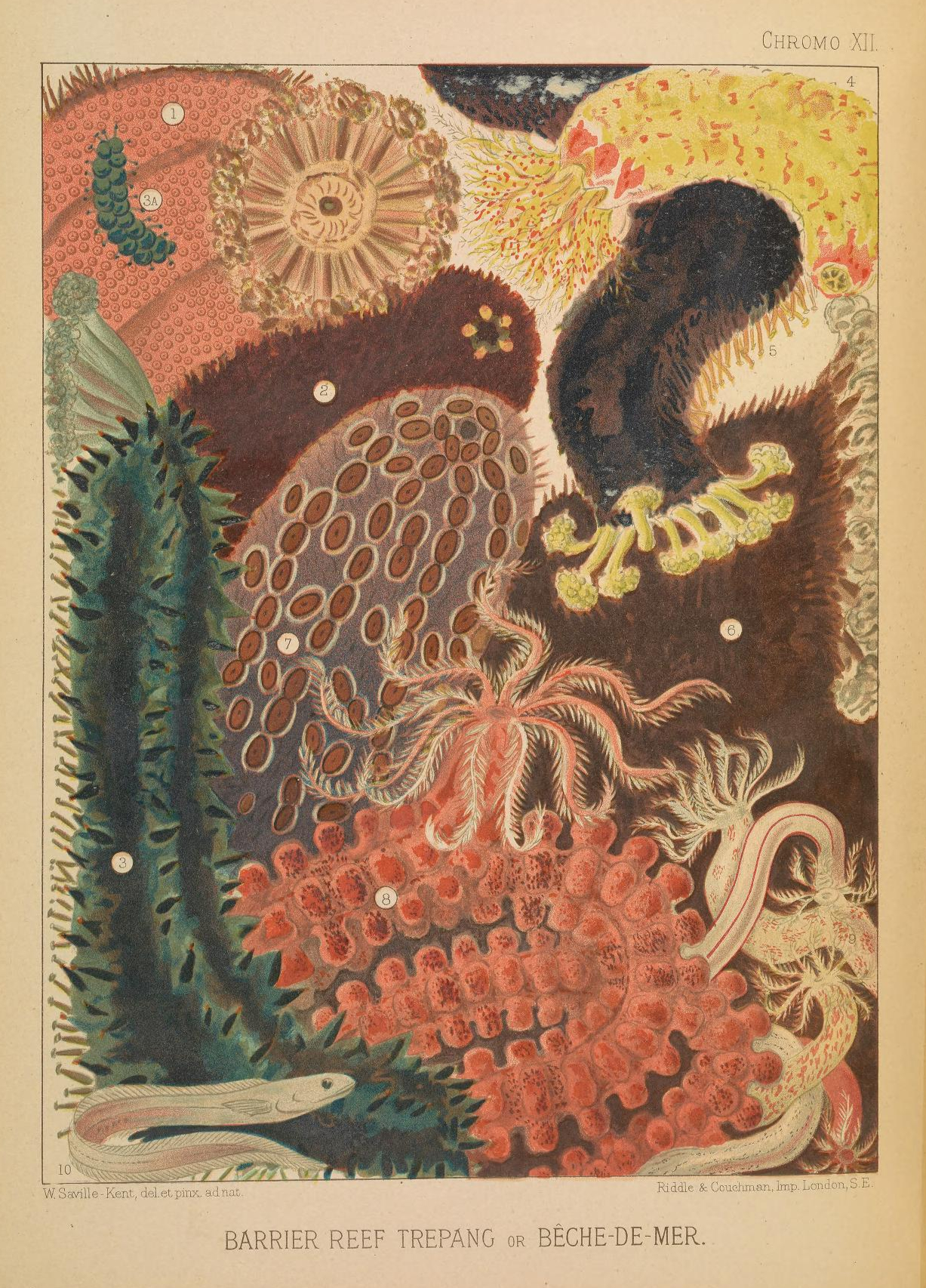 Vintage public domain illustrations of great barrier reef sea cucumber