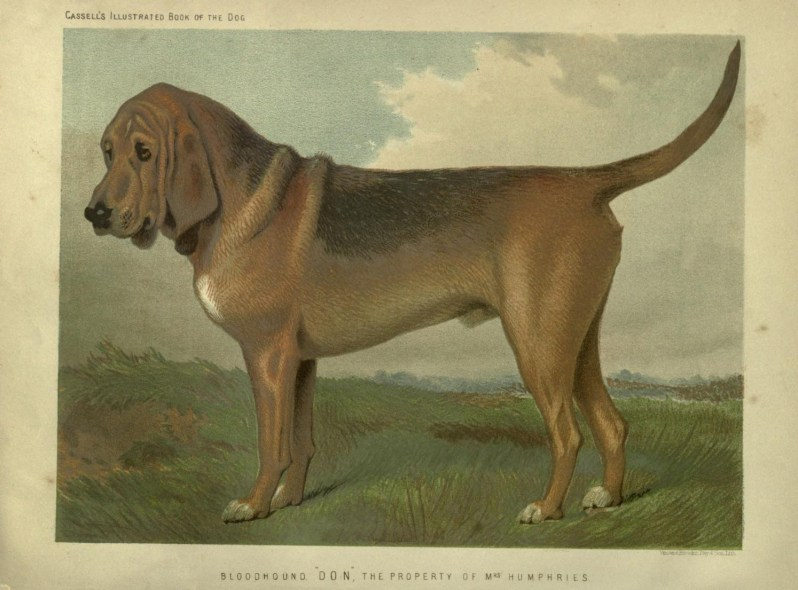 Free vintage bloodhound illustration public domain.