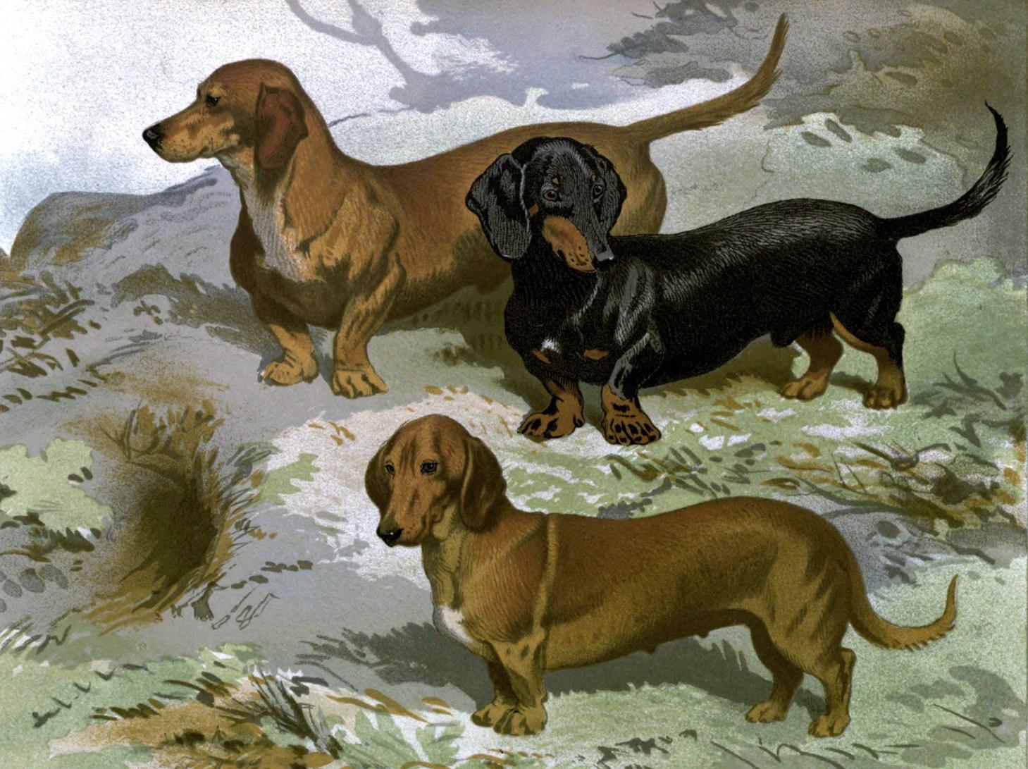 Free vintage dachshunds illustration public domain.