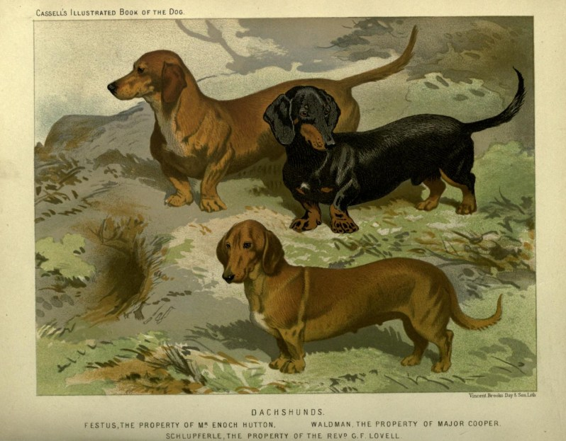 Free vintage dachshunds illustration public domain.