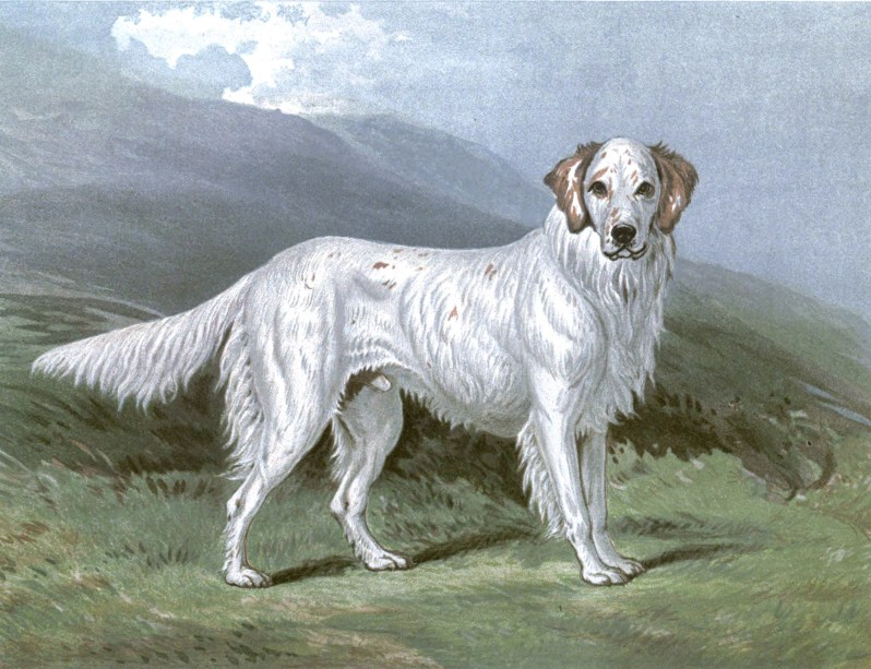 Free vintage english setter illustration public domain.
