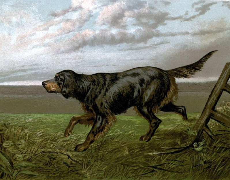 Free vintage gordon setter illustration public domain.