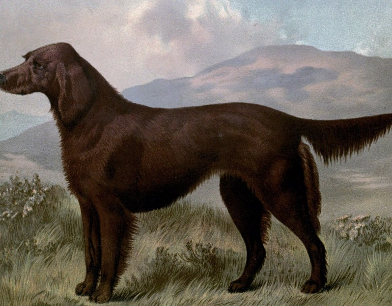 Free vintage irish setter illustration public domain.