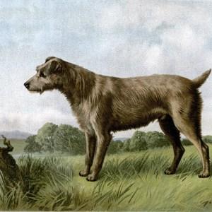 Free vintage irish terrier illustration public domain.
