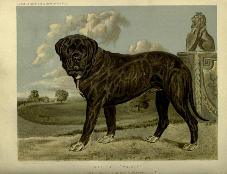 Free vintage mastiff illustration public domain.
