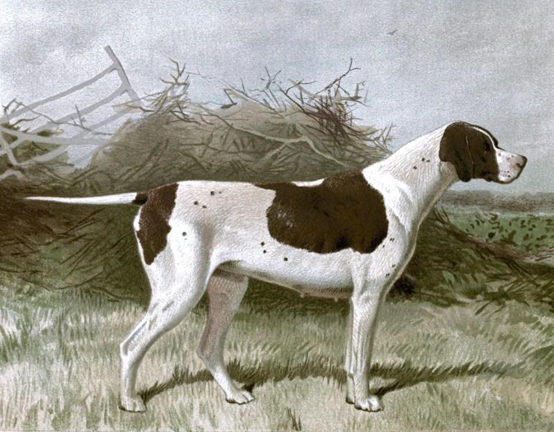 Free vintage pointer dog illustration public domain.
