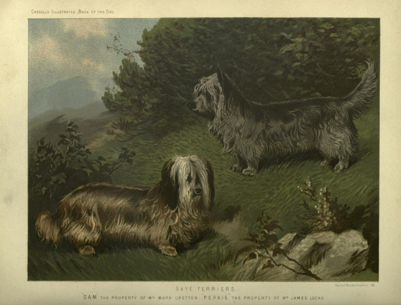 Free vintage skye terriers illustration public domain.