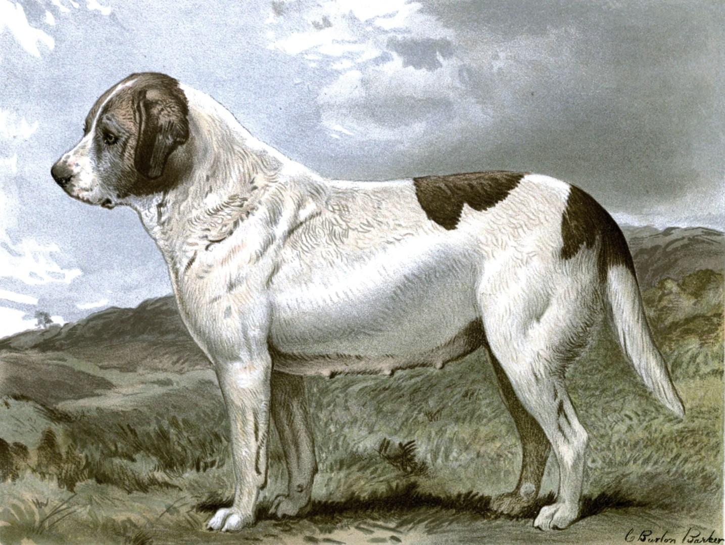 Free vintage st bernard abbess dog illustration public domain.