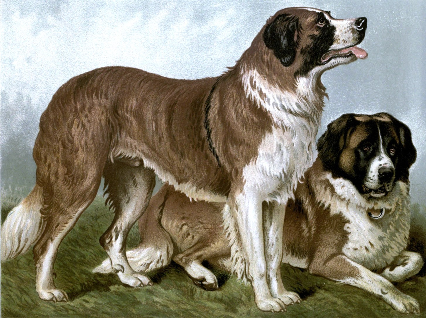 Free vintage st bernard dogs illustration public domain.
